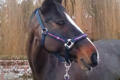 1_Tosca-JW-diamond-headcollar